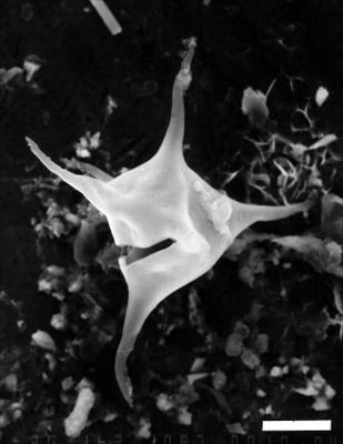 Veryhachium rhombispinosum Tynni, 1982, GIT 344-316