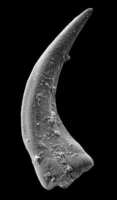 Panderodus sulcatus (Fåhraeus, 1966), GIT 449-45