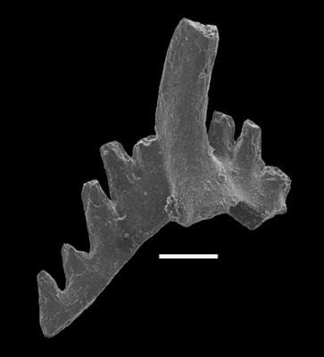 Aphelognathus pyramidalis (Branson, Mehl et Branson, 1951), GIT 551-5