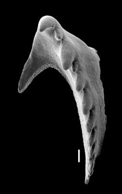<i>Ramphoprion sp.</i><br />West Anticosti coastal outcrops, Canada,  m, Hirnantian