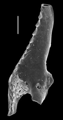 Hadoprionidae