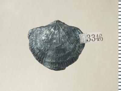 Eospirigerina hillistensis Rubel, 1970, GIT 130-106