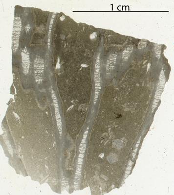 Catenipora elegans (Fischer-Benzon, 1871), GIT 180-84