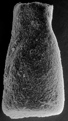 <i><i>Chitinozoa</i>   Conochitina sp. 7 Nestor, 1994</i><br />Ohesaare borehole, 222.50 m, Jaagarahu Stage ( 272-145)