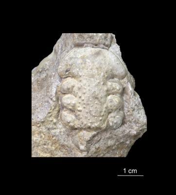 Paraceraurus exsul (Beyrich), ELM G1:464