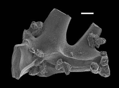 Ctenognathodus ssp., GIT 551-113