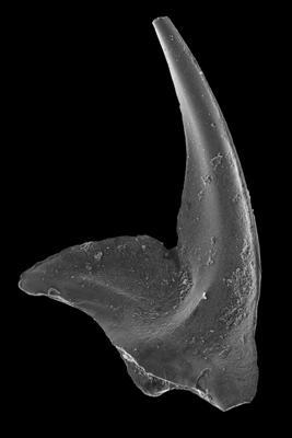 Oistodus lanceolatus Pander, 1856, GIT 594-34