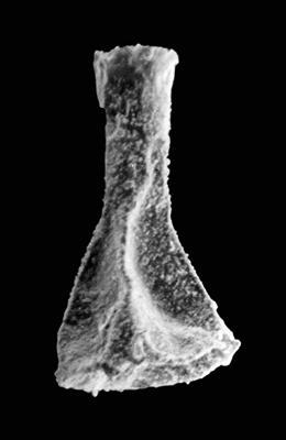 <i><i>Ancyrochitina brevispinosa</i></i><br />Ohesaare borehole, 118.00 m, Paadla Stage ( 576-4)