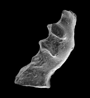 Distomodus sp., GIT 301-30