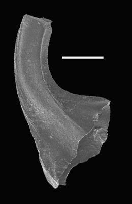 Dapsilodus praecipuus Barrick, 1977, GIT 566-35
