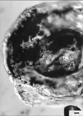 Tasmanites martinssoni Eisenack, 1958, GIT 344-268