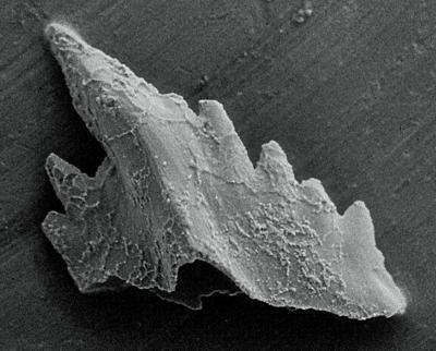 Icriognathus cornutus Männik, 1992, GIT 252-2