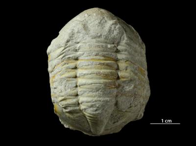 Asaphus sp., GIT 453-756
