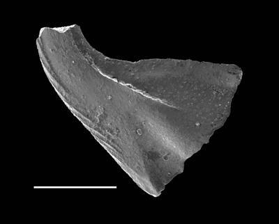 Dapsilodus obliquicostatus (Branson et Mehl, 1933), GIT 688-76