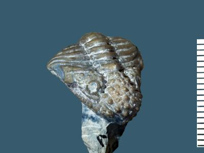 Encrinurus punctatus (Wahlenberg, 1821), GIT 177-2