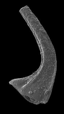 Dapsilodus viruensis (Fåhraeus, 1966), GIT 594-50
