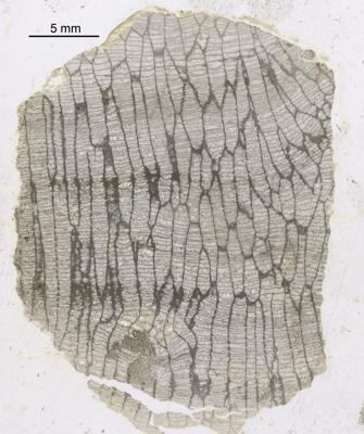 Favosites forbesi Milne-Edwards et Haime, 1851, GIT 90-33