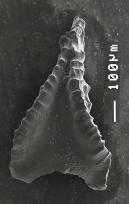 Apsidognathus tuberculatus ssp. n. 1 Männik, 2007, GIT 511-16