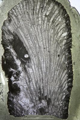 Batostoma granulosum Bassler, 1911, GIT 537-429