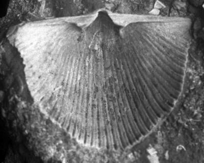 Cyrtonotella kuckersiana fcf. rechi (Wysogorski, 1900), TUG 1054-22