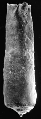 <i><i>Chitinozoa</i> | Conochitina cf. flamma Laufeld, 1974</i><br />Ohesaare borehole, 342.20 m, Jaani Stage ( 272-93)