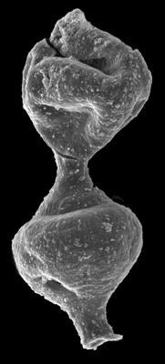 <i><i>Margachitina margaritana</i></i><br />Kolka 54 borehole, 566.40 m, Adavere Stage ( 546-51)