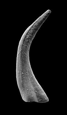 Panderodus sulcatus (Fåhraeus, 1966), GIT 449-55