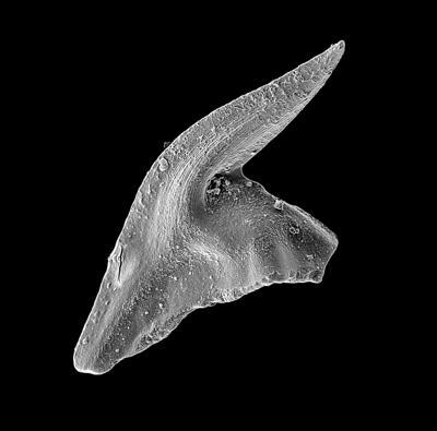 Baltoniodus variabilis (Bergström, 1962), GIT 449-26