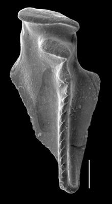<i>Kaljoprion laevaensis Hints, 2008</i><br />Laeva 18 borehole, 224.00 m, Nabala Stage