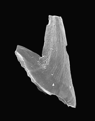 Paltodus subaequalis Pander, 1856, GIT 495-31