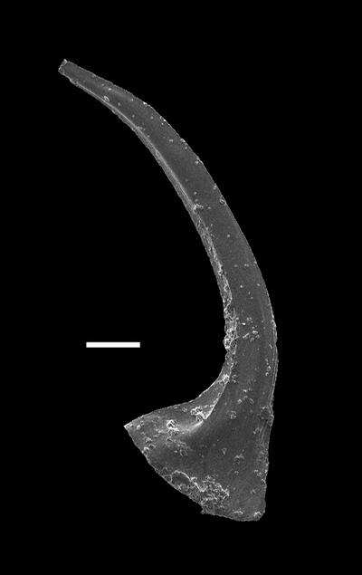 Dapsilodus aff. sparsus Barrick, GIT 793-19