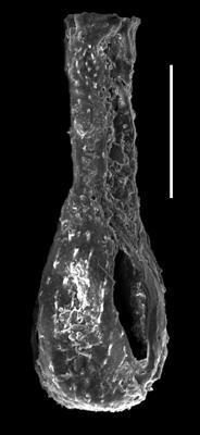 <i><i>Angochitina longicollis</i></i><br />Paatsalu 527 borehole, 78.20 m, Llandovery ( 493-24)