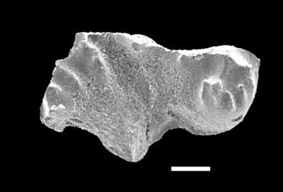 Distomodus cf. staurognathoides (Walliser, 1964), GIT 551-59