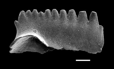 Kockelella ranuliformis (Walliser, 1964), GIT 493-47