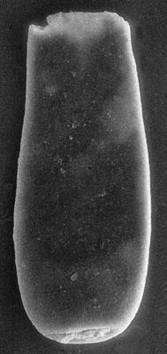 <i><i>Chitinozoa</i> | Conochitina sp. 6  Nestor, 1994</i><br />Nagli 106 borehole, 621.00 m, Adavere Stage ( 272-143)