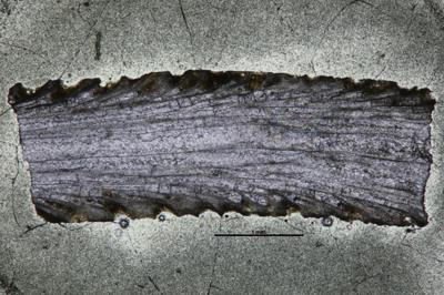 Eridotrypa aedilis (Eichwald, 1855), GIT 537-48