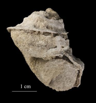 Lophospira borkholmiensis Koken, ELM G8:492