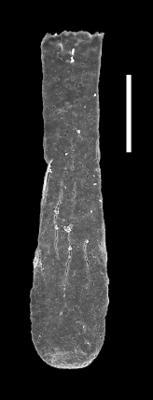 <i><i>Clavachitina</i> | Clavachitina sp.</i><br />Museum of Art excavation section, Kadriorg, 0.30 m, Hunneberg Stage ( 424-78)