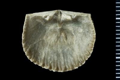 Glossorthis sp., GIT 588-91