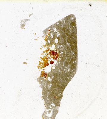 Dartmuthia gemmifera Patten, 1931, TUG 267-76