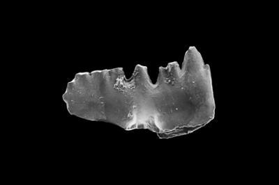 Ozarkodina inordinata Viira, 2000, GIT 281-32
