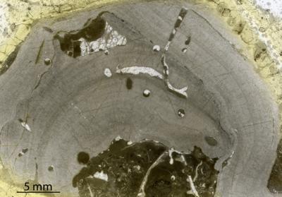 Densastroma cf. pexisum (Yavorsky, 1929), GIT 333-144