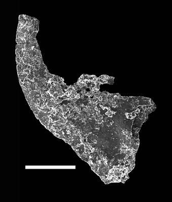 Dapsilodus sp., GIT 702-23