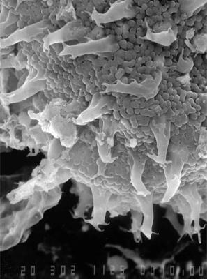 Multiplicisphaeridium cacteum Uutela et Tynni, 1991, GIT 344-210