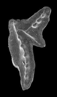 Amorphognathus tvaerensis Bergström, 1962, GIT 549-44
