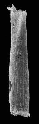 <i><i>Laufeldochitina stentor</i></i><br />Kerguta 565 borehole, 162.83 m, Kukruse Stage ( 544-38)
