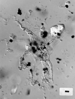 Gyalorhethium sp., GIT 344-136