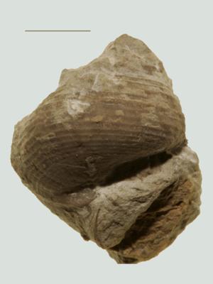 Eunema rupestre var sulcifera Eichwald, ELM G8:196