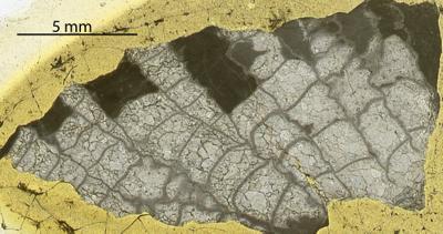 Paleofavosites alveolaris (Goldfuss, 1829), GIT 180-50