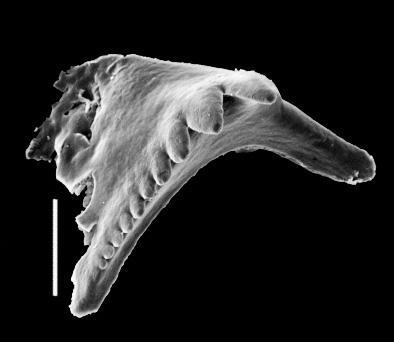 <i>Oenonites sp. B Hints, 2000</i><br />Butkunai 241 borehole, 554.70 m, Pirgu Stage